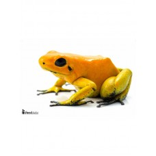 Phyllobates terribilis orange